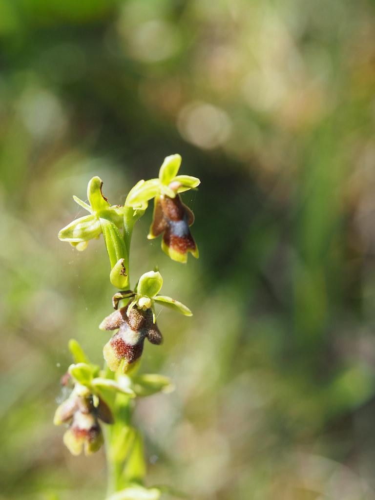 18-1-ophrys aymoninii