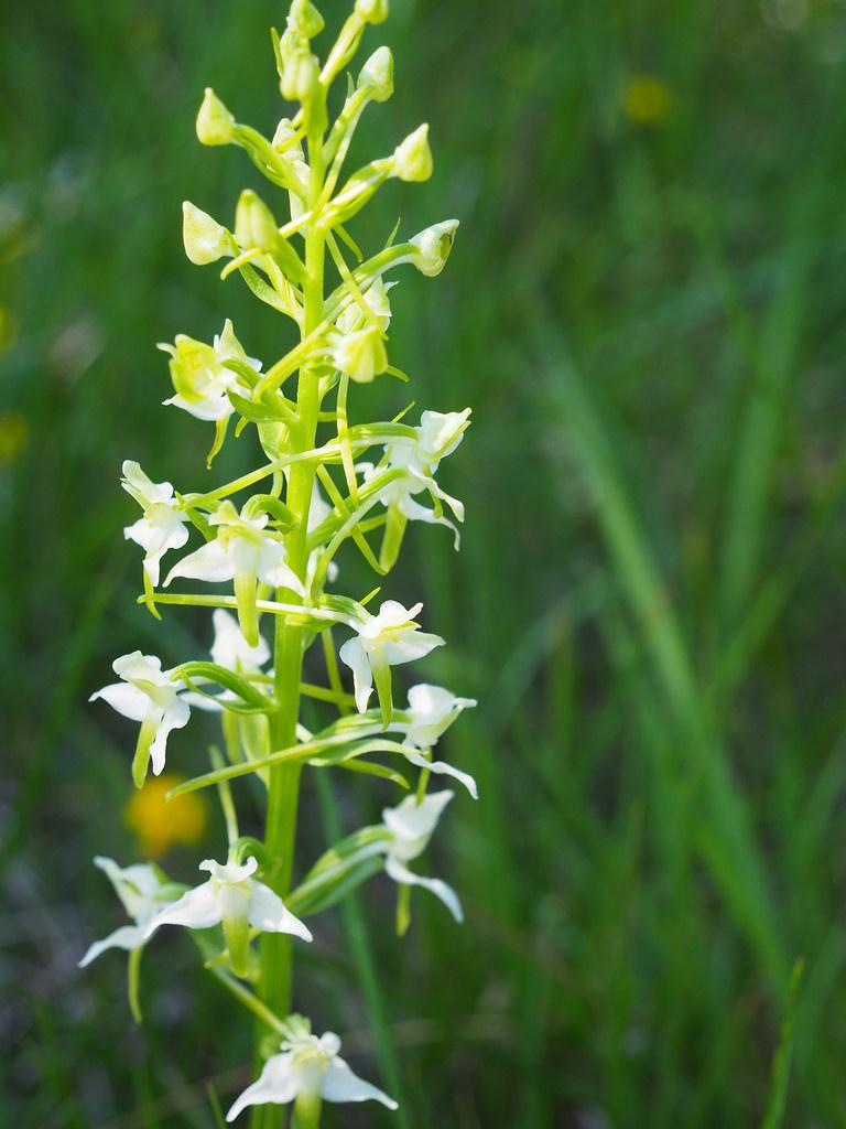 20-1-platanthera chlorantha