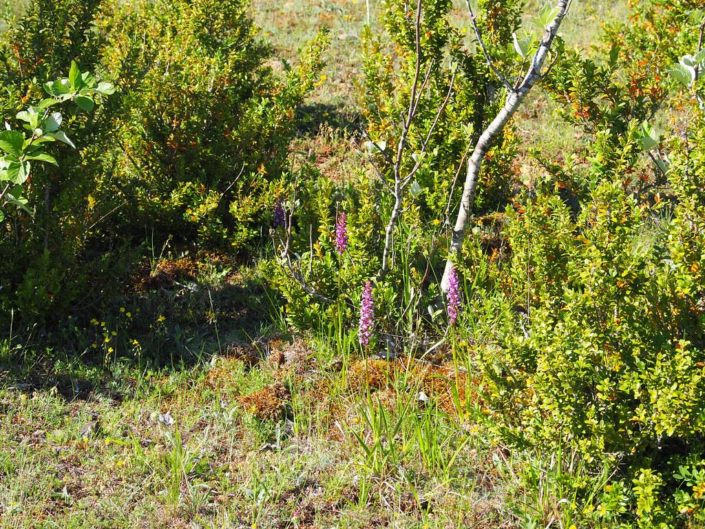 17-0-champ de gymnadenia conopsea