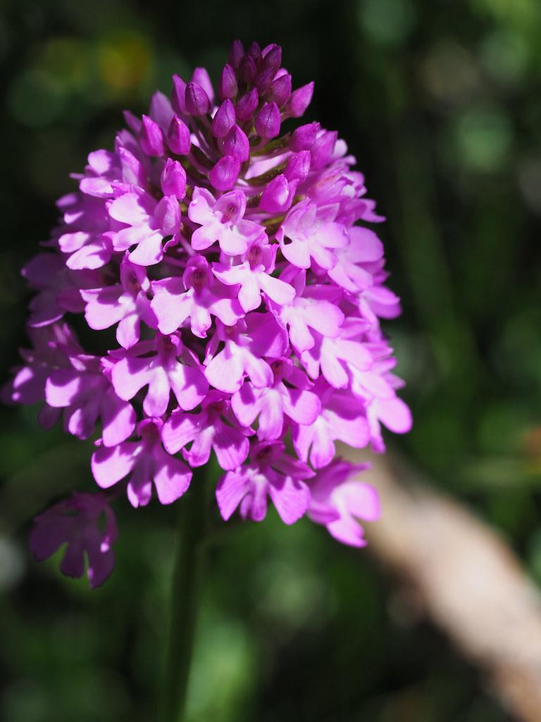 5-1-orchis pyramidalis