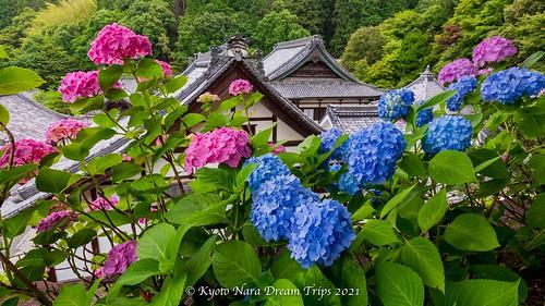 Hydrangea Flowers at Yōkoku-ji Temple at Nagaokakyo, Kyoto-Japan.