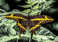 Brown swallowtail butterfly