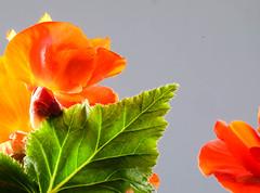Backlit Begonia