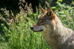 .. ein Wolfsblut