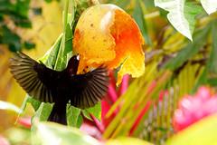 Tangara à bec d'argent,  Ramphocelus carbo, Guyane Française