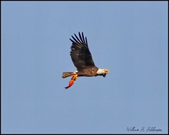 June 13, 2021 - A bald eagle with a bright catch. (Bill Hutchinson)