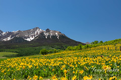 June 13, 2021 - Colorful field of flowers in southwestern Colorado. (Tony's Takes)