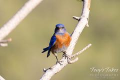 June 15, 2021 - Western bluebird keeping watch. (Tony's Takes)