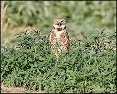 June 14, 2021 - Burrowing owl on a hot day. (Bill Hutchinson)