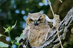 June 14, 2021 - Winking owlet. (Bill Hutchinson)