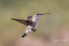June 15, 2021 - A female black-chinned hummingbird in flight. (Tony's Takes)
