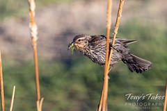 June 14, 2021 - Female red-winged blackbird with breakfast. (Tony's Takes)