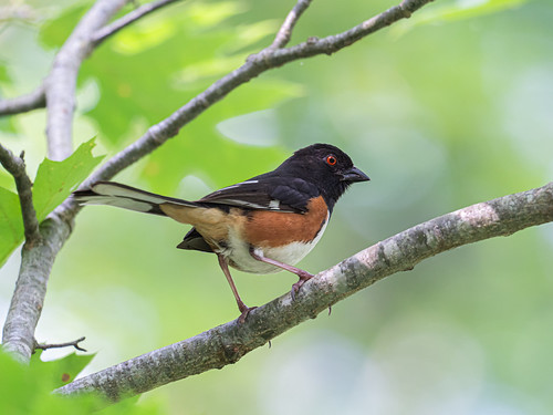 """Eastern Towhee (Male) • <a style=""""font-size:0.8em;"""" href=""""http://www.flickr.com/photos/59465790@N04/51259234221/"""" target=""""_blank"""">View on Flickr</a>"""