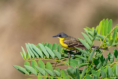 Rumena pastirica/Yellow wagtail
