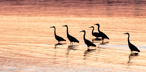 """Great Blue Herons • <a style=""""font-size:0.8em;"""" href=""""http://www.flickr.com/photos/106269596@N05/51261655667/"""" target=""""_blank"""">View on Flickr</a>"""