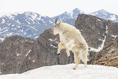 June 19, 2021 - A mountain goat jumps in the snow. (Tony's Takes)