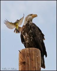 June 17, 2021 - A western kingbird hassles a bald eagle. (Bill Hutchinson)