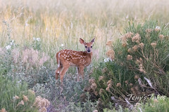 June 20, 2021 - A deer fawn in the early morning. (Tony's Takes)