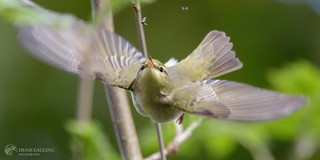 Wood warbler - eyes on the prize