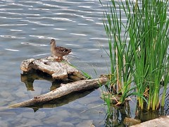June 20, 2021 - Mallard hanging out.  (LE Worley)