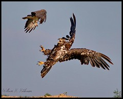 June 20, 2021 - A hawk takes on a young eagle. (Bill Hutchinson)