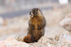 June 19, 2021 - A marmot posing on Mount Evans. (Tony's Takes)