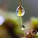 Moss spore capsule stem after the rain