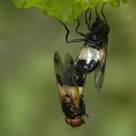 hoverflies (Volucella pellucens)