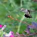 Hummingbird in Milford, KS