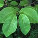 Magnolia sieboldii (Siebold's magnolia) 1