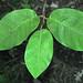 Magnolia sieboldii (Siebold's magnolia) 2