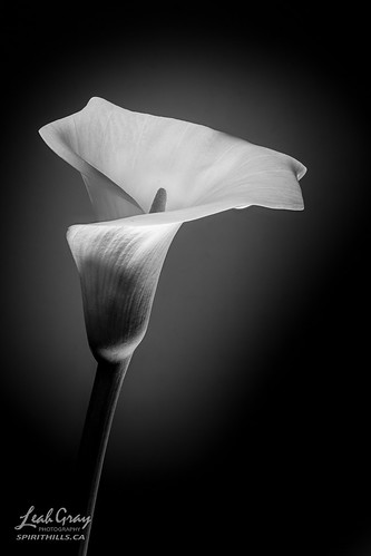 """Calla Lily • <a style=""""font-size:0.8em;"""" href=""""http://www.flickr.com/photos/106269596@N05/51274279960/"""" target=""""_blank"""">View on Flickr</a>"""