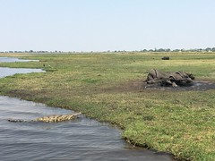 Dead elephant and a croc