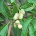 Magnolia kobus (kobus magnolia) 4