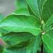 Magnolia kobus (kobus magnolia) 3