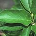 Magnolia kobus (kobus magnolia) 5