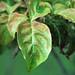 Cornus florida 'Cherokee Chief' (flowering dogwood) 3