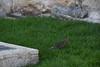 Jerusalem Old City Rat 20210628 (2)