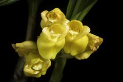 Acanthophippium mantinianum fma. aurea 'H・I' L.Linden & Cogn., J. Orchidées 7: 138 (1896).