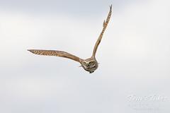 June 26, 2021 - Burrowing owl in flight. (Tony's Takes)