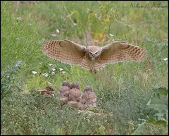 June 24, 2021 - Burrowing owl returning with a meal. (Bill Hutchinson)