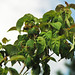 Cornus florida 'Cherokee Chief' (flowering dogwood) 2