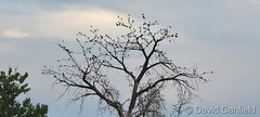 June 23, 2021 - Blackbirds take over a tree. (David Canfield)