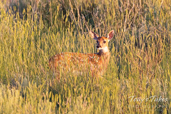 June 27, 2021 - A precious white-tailed deer fawn. (Tony's Takes)
