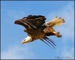 June 24, 2021 - Bald eagle takes flight. (Bill Hutchinson)
