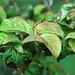 Cornus florida 'Cherokee Chief' (flowering dogwood) 5