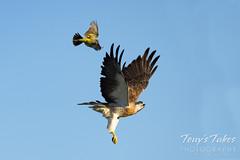 June 27, 2021 - A western kingbird attacks a Swainson's hawk. (Tony's Takes)
