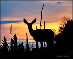 June 26, 2021 - A doe at sunrise. (Bill Hutchinson)