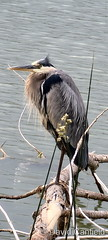 June 25, 2021 - Great blue heron hanging out. (David Canfield)