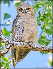 June 22, 2021 - A cute young owl. (Bill Hutchinson)